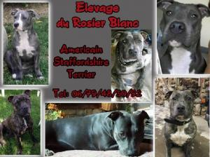 Elevage Américan Staffordshire , Chiots american staff bleu
